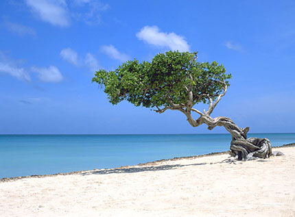 Divi-Divi- oder Fofoti-Baum - © Aruba Tourism Authority