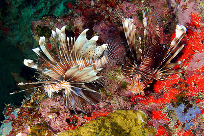 Seychellen - Lion fish - © photo courtesy Tony Baskeyfield - Seychelles Tourism Board